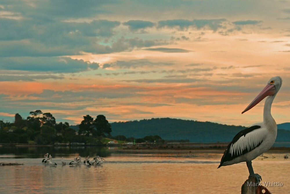 Pelicans at Sunset by Mark Whittle