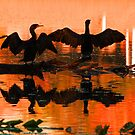 Silhouetted cormorants in a florida sunset by Anthony Goldman