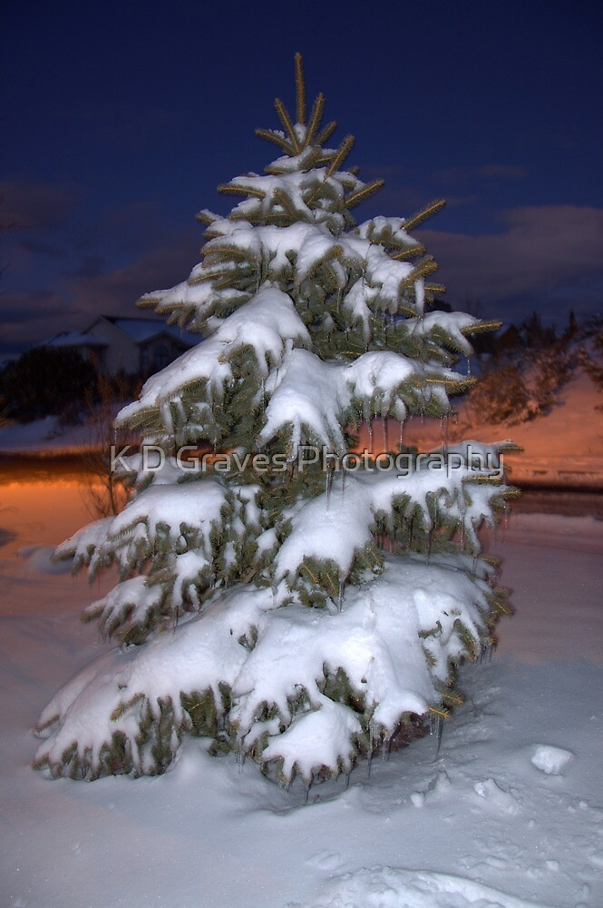 Blue Spruce At Sunset by K D Graves Photography