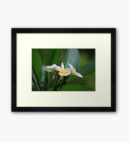 First Frangipani Bloom This Summer Framed Print