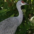 Sandhill Crane at Lowry Park Zoo by Sheryl Unwin
