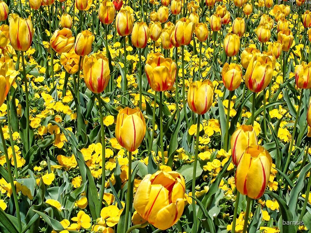 Yellow Tulips by barnsis