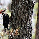 Twice in one day - Pileated Woodpecker by barnsis