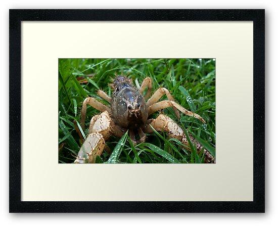 Hi I'm Spike: Burrowing Crayfish (Engaeus hemicirratulus)  by Travis Easton