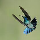 Green VioletearHummingbird in Flight by Raymond J Barlow