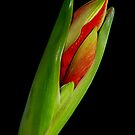 Orange Amaryllis Blooming by Bo Insogna