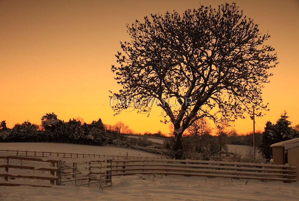 Morning sun colours the sky behind a tree.  by FRED TAYLOR