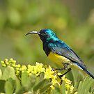 Sundbird II by Paulo van Breugel