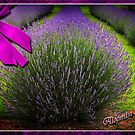 Postcard from Aloomba Lavender by Kym Howard