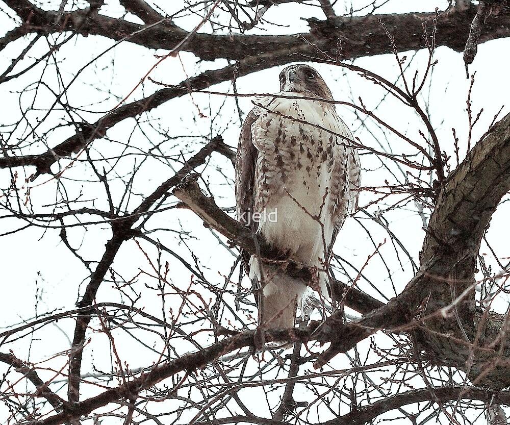 Redtail Hawk by kjeld