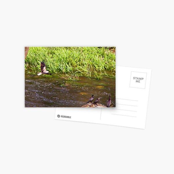 Sea Eagle and catch Postcard