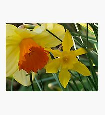 Daffodils of different sizes -  Photographic Print