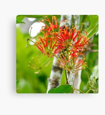 Flowering Queensland Firewheel Tree  Canvas Print