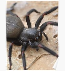 Funnel Web Spider Poster