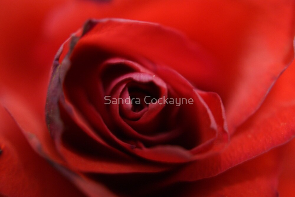 Dreamy Macro Rose by Sandra Cockayne