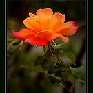 ORANGE SHERBERT ROSE by RoseMarie747