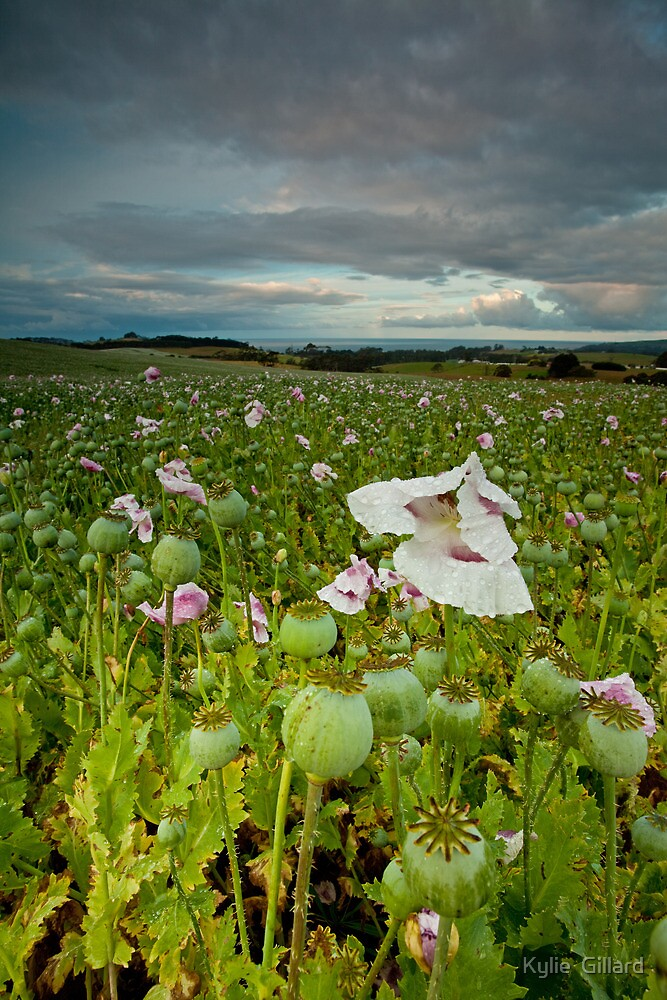 Weather Beaten Poppies by Kylie  Sheahen