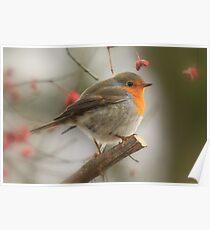 The European Robin (Erithacus rubecula) 2 Poster