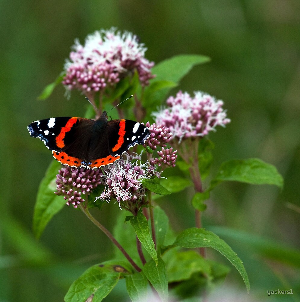 """""""The red admiral"""" by yackers1"""