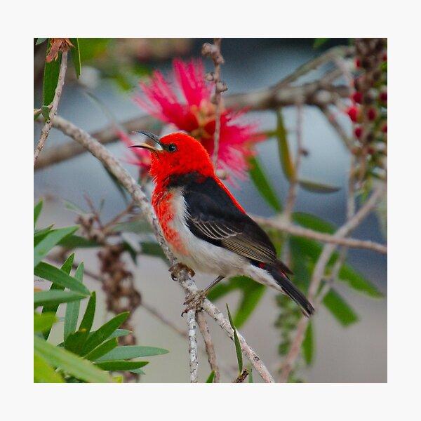 SC ~ WO ~ HONEYEATER ~ Scarlet Honeyeater by David Irwin 220919 Photographic Print