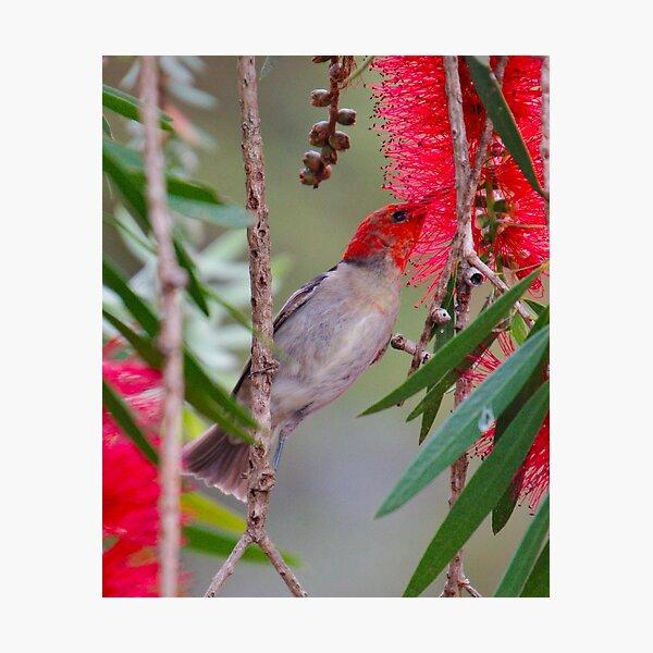 SC ~ WO ~ HONEYEATER ~ Scarlet Honeyeater 2 by David Irwin 220919 Photographic Print