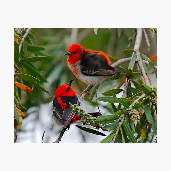 SC ~ WO ~ HONEYEATER ~ Scarlet Honeyeater 3 by David Irwin 220919 Photographic Print