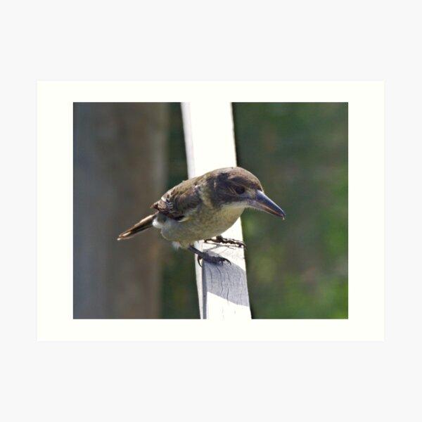 ARTAMIDAE ~ Grey Butcherbird by David Irwin 220919 Art Print