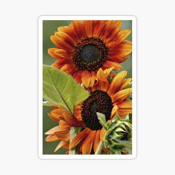 Giant Sunflowers Sticker