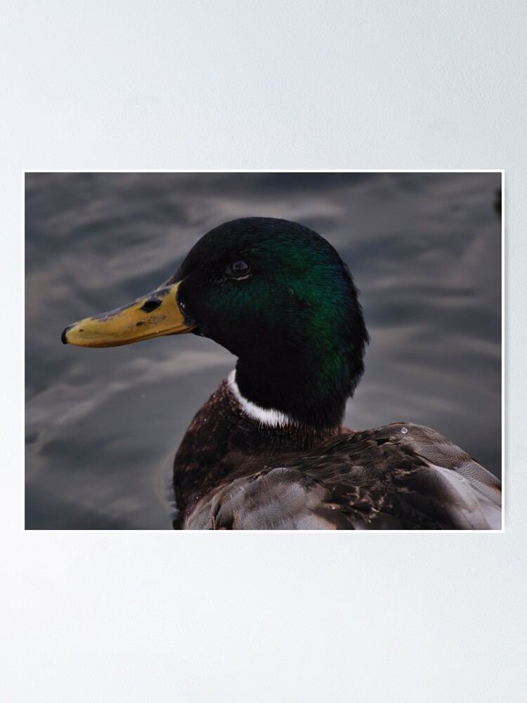 Alternate view of Duck Poster