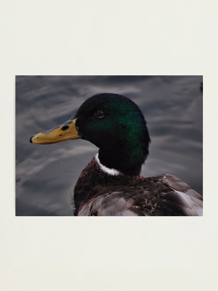 Alternate view of Duck Photographic Print