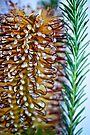 Christmas Banksia by Extraordinary Light