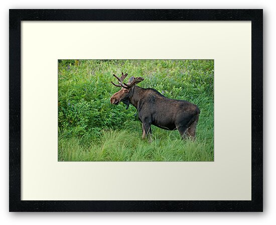 Young Bull Moose by Bill Maynard