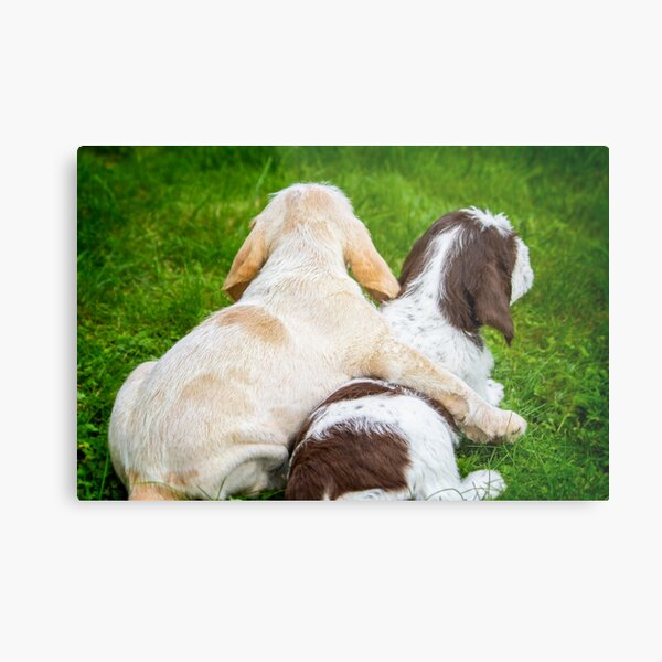 Better together Spinoni Metal Print