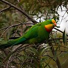 Superb parrot by tarnyacox