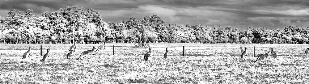 Roos in the top paddock B+W by adbetron
