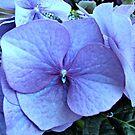Blue Lacecap Hydrangea Macro by BlueMoonRose