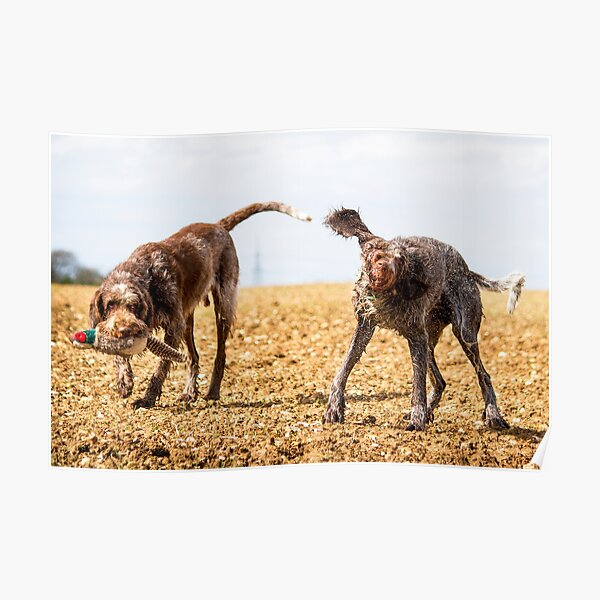 Italian Spinone Dogs Luca and Nico Poster