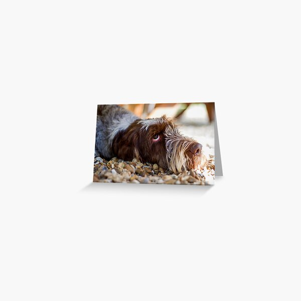 Looking up Spinone Greeting Card