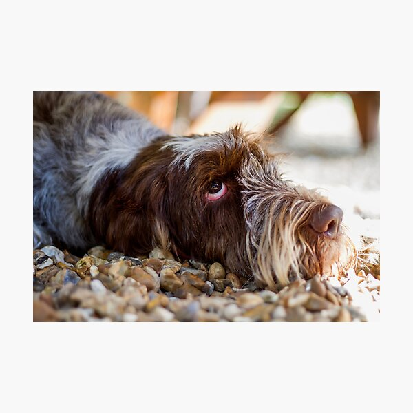 Looking up Spinone Photographic Print