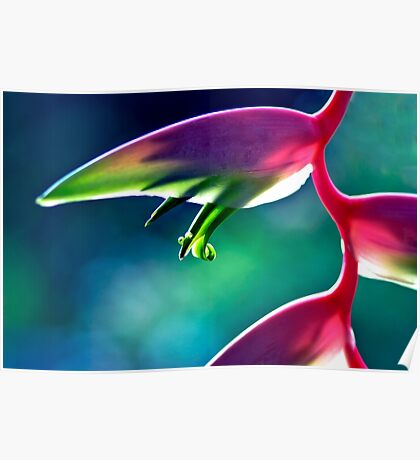 Sexy Pink - heliconia flower Poster