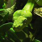Green Tree Python, Chester Zoo, UK by Michaela1991