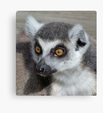 I Do Not Believe It - Ring-tailed Lemur Canvas Print