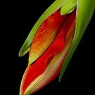 Orange Amaryllis Hippeastrum in the Beginning 12-21-10 by Bo Insogna