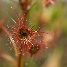 Tall Sundew  by Jay Armstrong