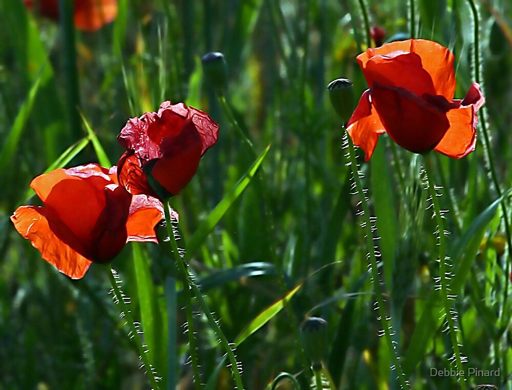 Poppies - Puglia Italy by Debbie Pinard