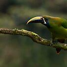 Emerald Toucanet,  Costa Rica by Raymond J Barlow