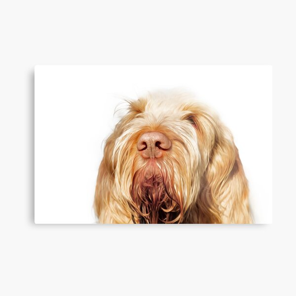 Waiting for you Spinone Metal Print