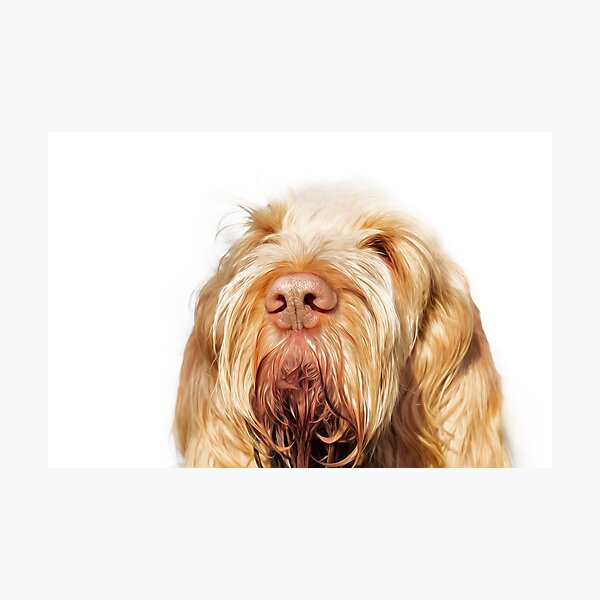Waiting for you Spinone Photographic Print