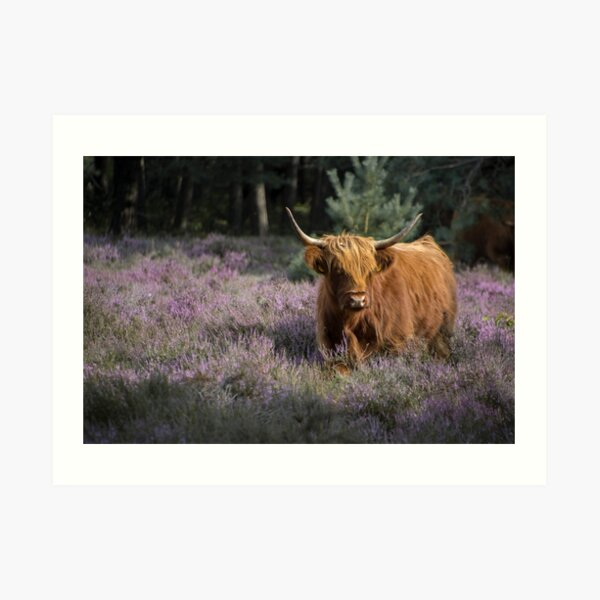 Red highland cow in purple field Art Print