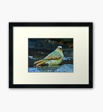 Juvenile Satin Bower Bird Framed Print